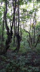 1475506106194ブナの木.jpg